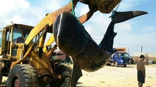 烟台渔民在近海捕获约1.5吨重搁浅鲸鲨
